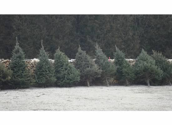 Pre-cut trees available